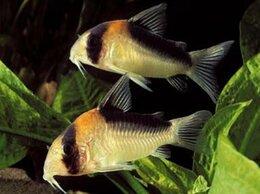 Аквариумные рыбки - Коридорас Адольфа (Corydoras adolfoi) очень…, 0