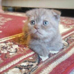 Кошки - Шотландский вислоухий кот, 0