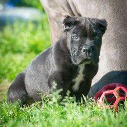 Собаки - Кане корсо, 0