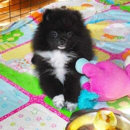 Собаки - Померанский шпиц черный с белым, 0