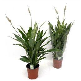Комнатные растения - Спатифиллум Сильвер Купидо, 0
