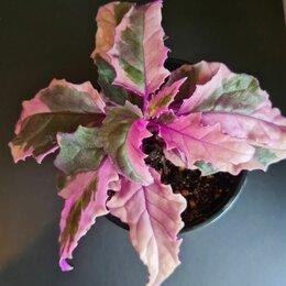 Комнатные растения - Гинура вариегатная, традесканция , 0