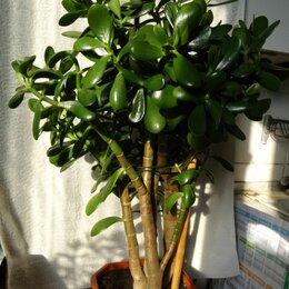 Комнатные растения - Крассула толстянка денежное дерево, 0