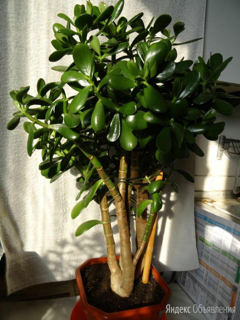 Крассула толстянка денежное дерево по цене 3000₽ - Комнатные растения, фото 0
