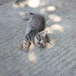 Кошки - Продам котят (Смесь британки с шотландцем) , 0