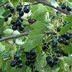 Саженцы Смородина золотистая  по цене 450₽ - Рассада, саженцы, кустарники, деревья, фото 1