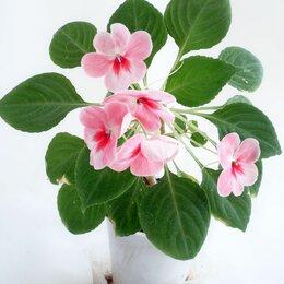 Комнатные растения - Бальзамин, 0
