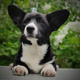 Собаки - Щенки вельш корги кардиган, 0