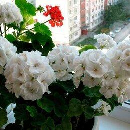 Комнатные растения - Герань, Пеларгония, 0