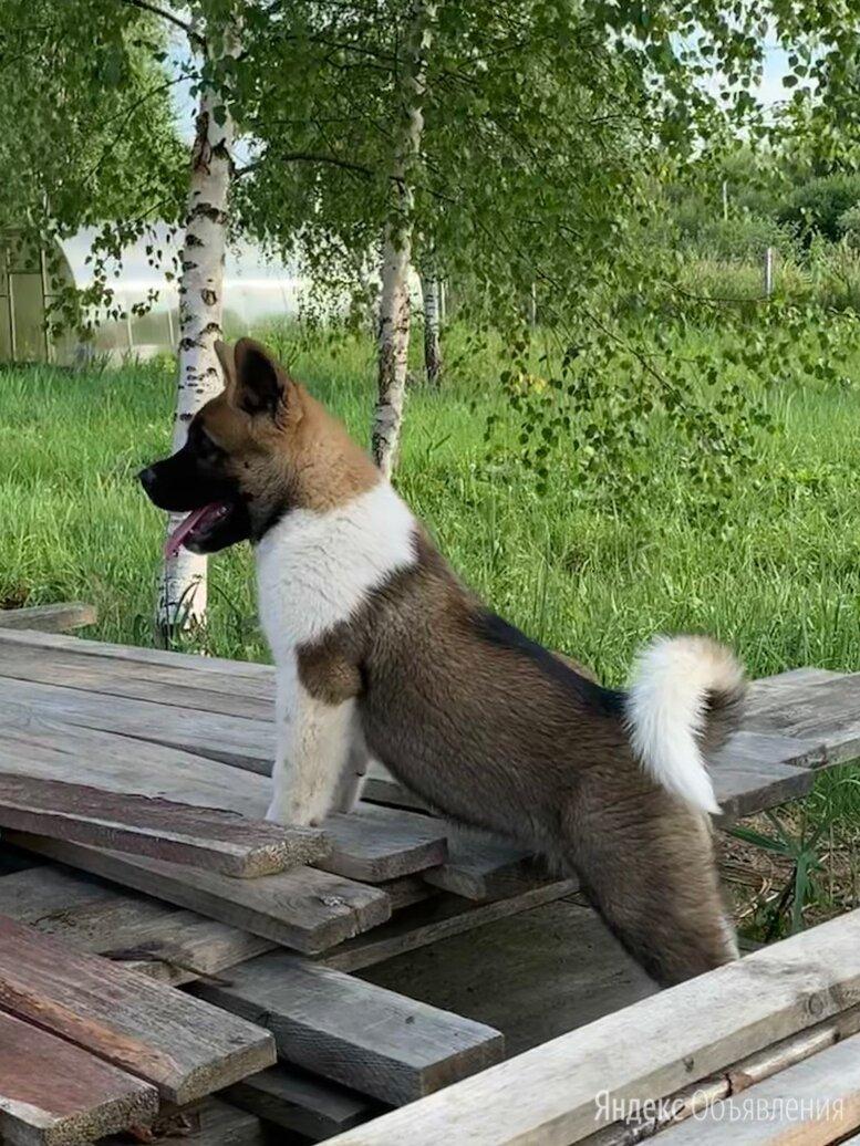 Американская акита щенки по цене 20000₽ - Собаки, фото 0