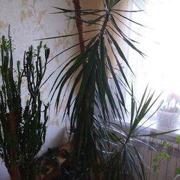 Комнатные растения - Драцена окаймлённая, 0