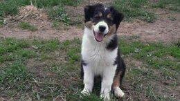 Собаки - Австралийская овчарка ( аусси  ), 0