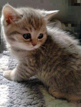 Кошки - Продам котят Скоттиш Страйт, 0