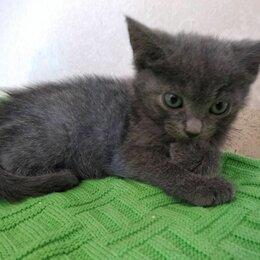 Кошки - Метисик русской голубой кошки (девочка) 2,5 мес в добрые руки, 0