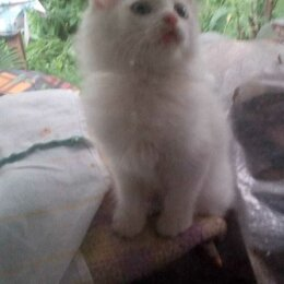 Кошки - Турецкая ангора Новосибирск котенок два месяца даром, 0