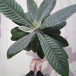 Комнатные растения - Мушмула, 0