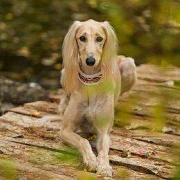 Собаки - Персидская борзая салюки щенки, 0