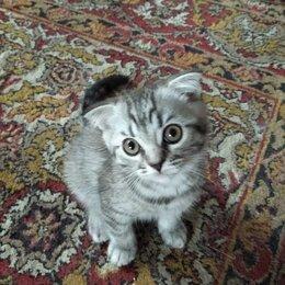 Кошки - Британский котенок, 0