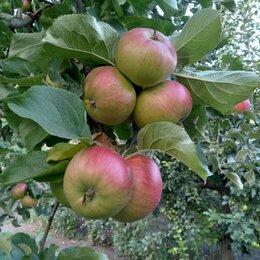 Продукты - Яблоки оптом из сада, 0