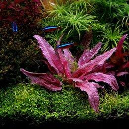 Растения для аквариумов и террариумов - Криптокорина Фламинго Cryptocoryne spec. Flamingo, 0