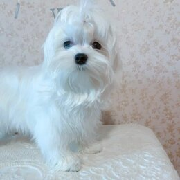 Собаки - Мальтийская болонка . Мальтезе . Комнатная собачка., 0