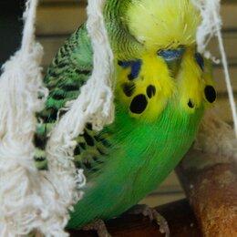 Птицы - Выставочные волнистые попугаи (чехи), 0