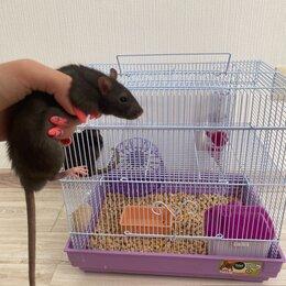 Грызуны - Продам 2х дамбо крысят с клеткой , 0