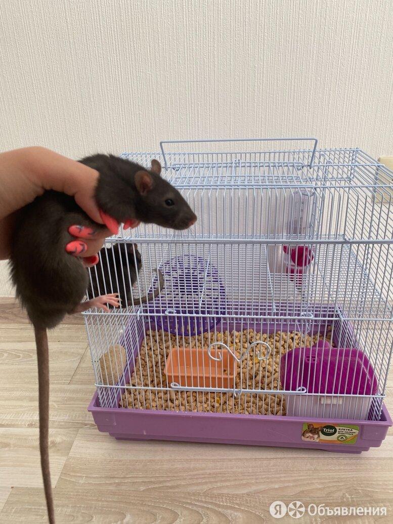 Продам 2х дамбо крысят с клеткой  по цене 3000₽ - Грызуны, фото 0