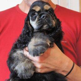 Собаки - Американский кокер спаниель щенки от Чемпионов питомник, 0