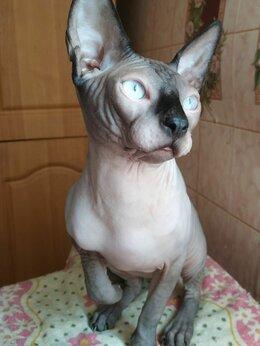 Кошки - Канадский сфинкс кот 11 месяцев, 0