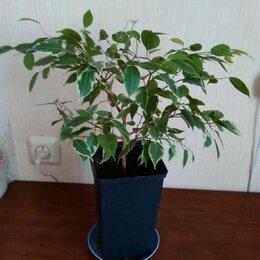 Комнатные растения - Фикус Бенджамина, 0
