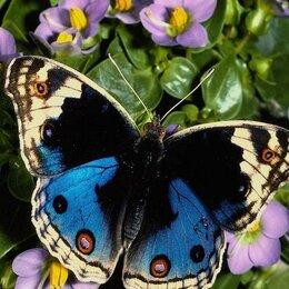 Аквариумные рыбки - Живые тропические бабочки Аристотель, 0