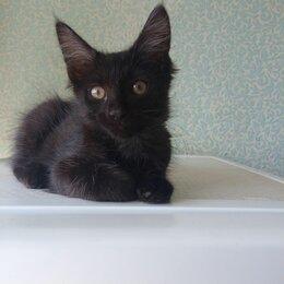 Кошки - Чёрный мейн-кун глаткошерстный, 0