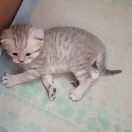Кошки - Шотландская вислоухая, котенок , 0