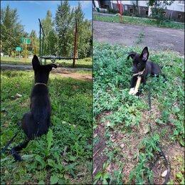 Собаки - Шенок, примерно 4 месяца, отличные охранные качества, 0