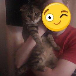 Кошки - Шотландский кот вислоухий вязка, 0