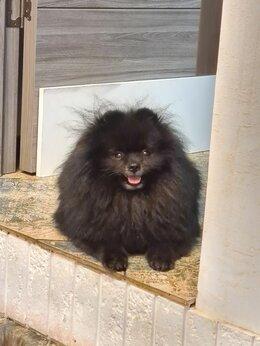Собаки - Вязка шпиц, 0