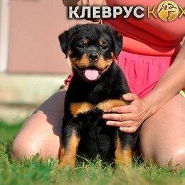 Собаки - Перспективные щенки ротвейлера из профессионального питомника, 0