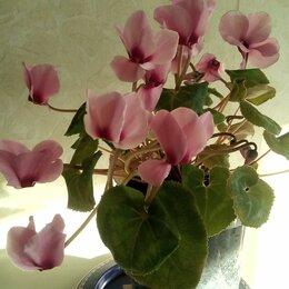 Комнатные растения - Цикламен персидский Розовый Фламинго, 0