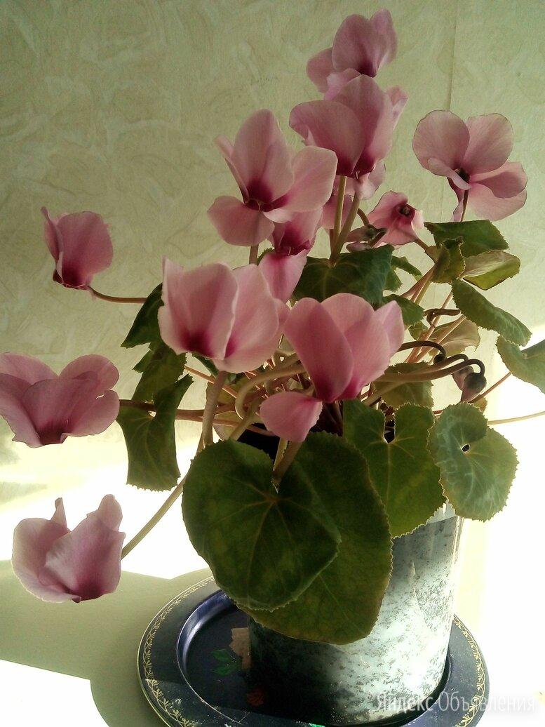 Цикламен персидский Розовый Фламинго по цене 400₽ - Комнатные растения, фото 0