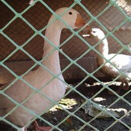 Птицы - Продам гусей, 0