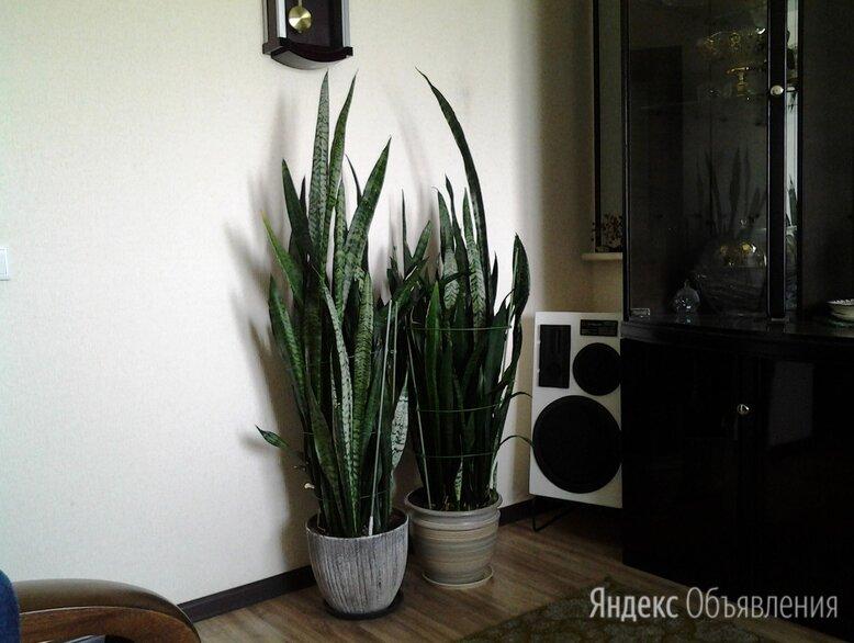 личные вещи и товары для дома по цене 1000₽ - Комнатные растения, фото 0
