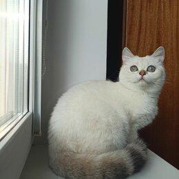 Кошки - Золотая колорочка, шотландка., 0