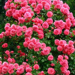 """Рассада, саженцы, кустарники, деревья - АФ """"Поиск"""" Роза плетистая Лагуна (Laguna), 0"""