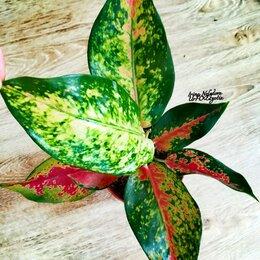 Комнатные растения - Аглаонема Кочин Хамелеон (домашняя) , 0