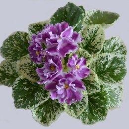 Комнатные растения - Фиалки коллекционные, сортовые, 0