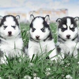 Собаки - Щенки хаски с голубыми глазами, 0
