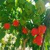 Самый острый перец  в мире Каролина Рипер по цене 100₽ - Рассада, саженцы, кустарники, деревья, фото 8