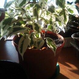 Комнатные растения - Перец огонёк, 0