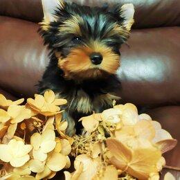 Собаки - Йоркширский терьер маленький мальчик, 0